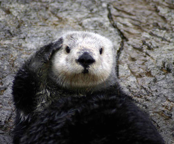 Sea Otter Salutes You — The Daily Otter