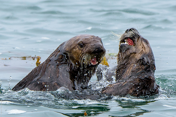 Sea Otters Roughhouse in the Water