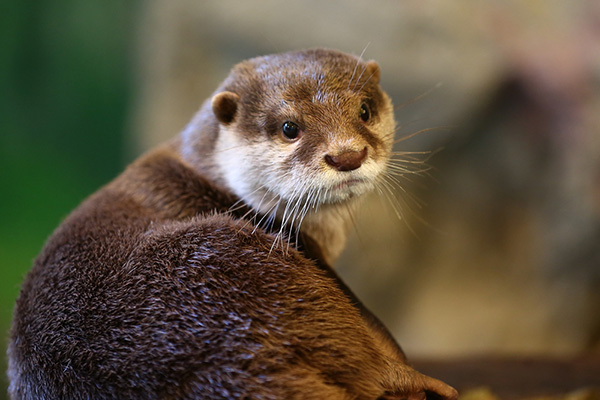 Model Otter Gives the Over-the-Shoulder Pose