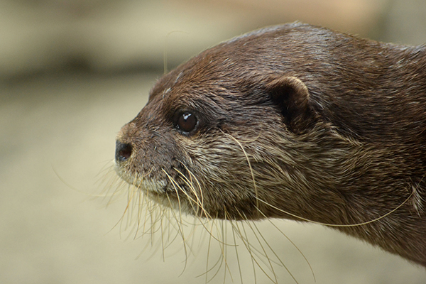 Otter and His Whiskers in Profile