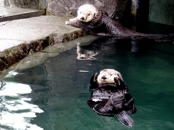 Sea Otter Has Second Thoughts About Getting Out of the Pool