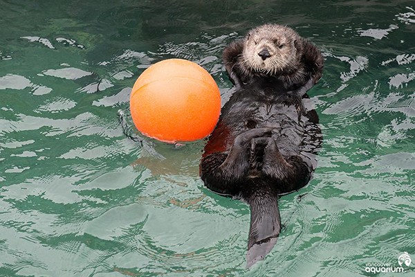 Sea Otter Katmai Leisurely Floats in the Pool