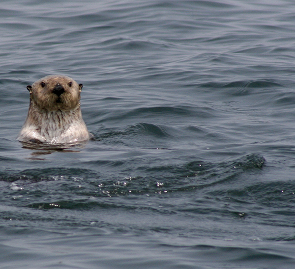 Sea Otter Watches the Human Watching Him