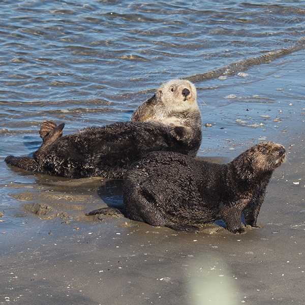 Sea Otters Dry Off on the Beach