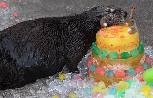 Sea Otters Get Icy, Fishy Birthday Cakes! 1