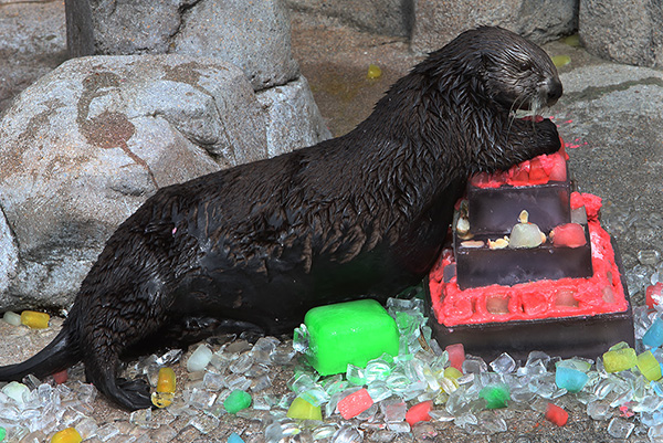 Sea Otters Get Icy, Fishy Birthday Cakes! 2