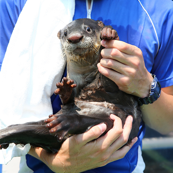 Keeper Shows Otter How to Wave for the Camera