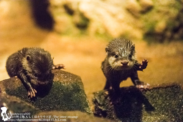 Little Otter Pups Get Their Footing on the Rocks