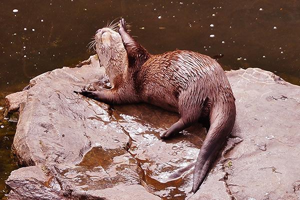 Otter Basks in the Sunlight