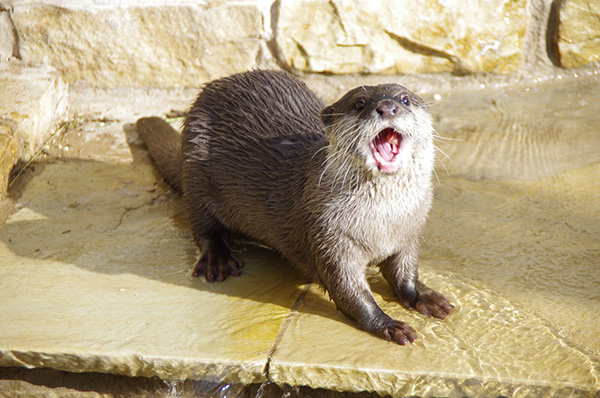 Otter, Hasn't Anyone Told You It's Not Polite to Chew with Your Mouth Open?