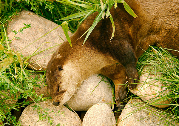 Otter Is Fast Asleep on a Grassy Bed and Rocky Pillow