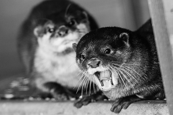 Otter Photobombs His Friend