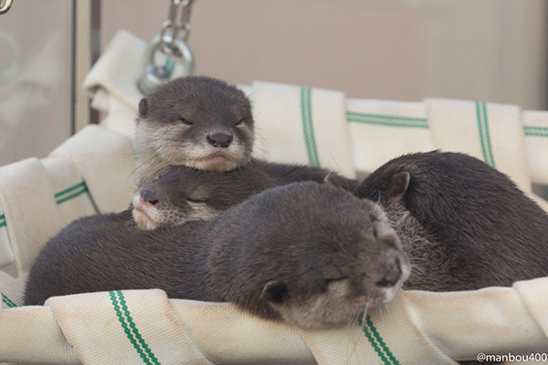 Otters Pile Into a Hammock for a Nap