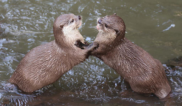 Otters Play-Fight in the Water