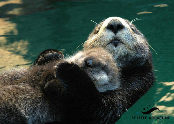 Sea Otter Mother Holds Her Sleepy Pup on Her Belly