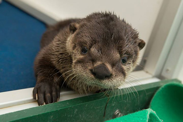 The Oregon Zoo's Rescued Otter Pup Has a New Name! 1