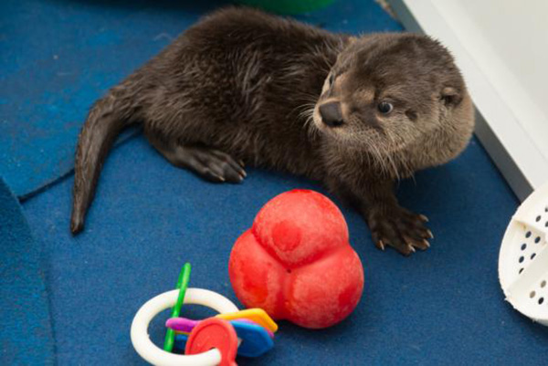 The Oregon Zoo's Rescued Otter Pup Has a New Name! 2