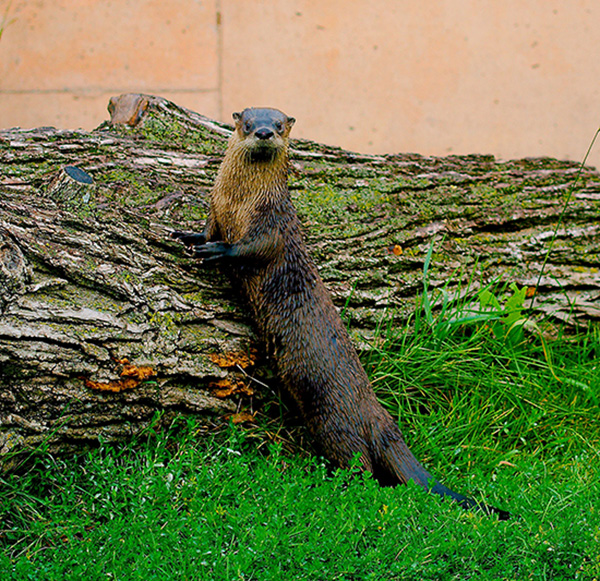 Vanna White Otter Presents His Tree