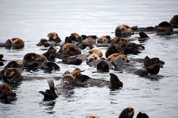 A Raft of Sea Otters Float Along Peacefully Together