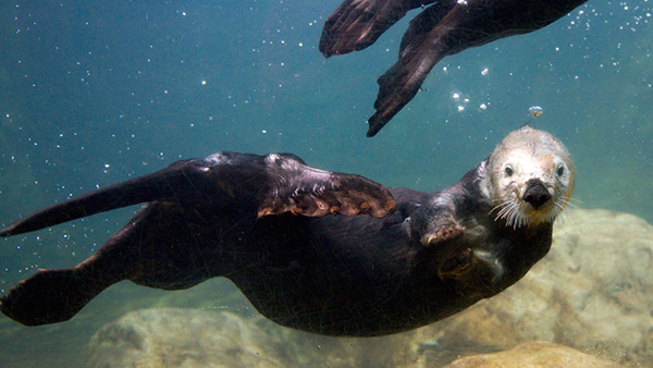 It's the First Day of Sea Otter Awareness Week 2015!