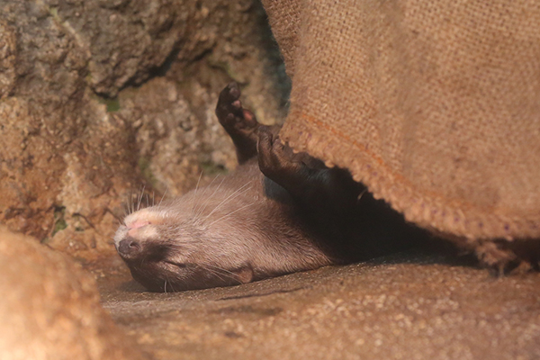 Otter Happily Tucks Himself in for a Nap