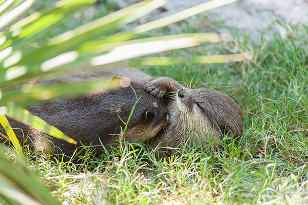 Otters Lounge and Cuddle in the Sunlight