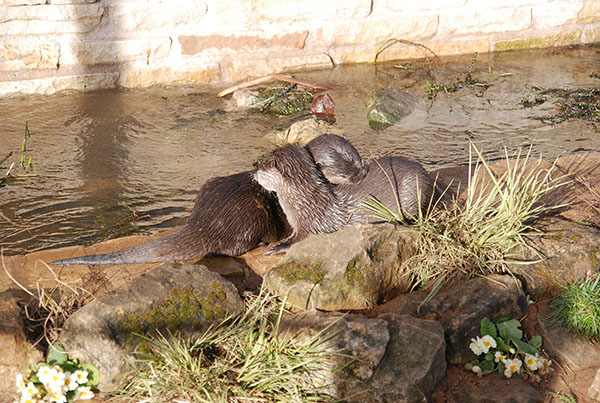 Otters Show Mutual Affection