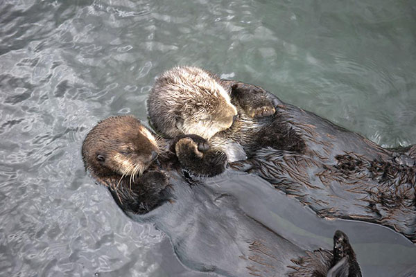 Sleepy Sea Otters Hold Hands and Float Along