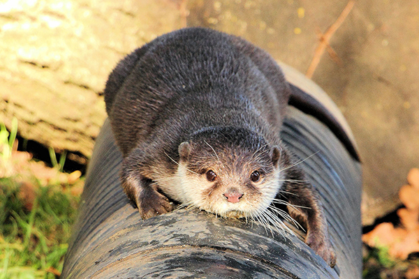 Otter Balances on a Big Pipe