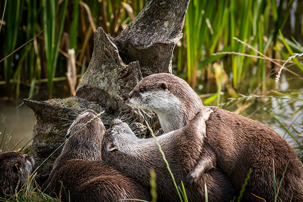 Otter Dips His Dancing Partner