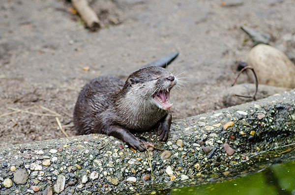 Otter Laughs a Little Too Hard at His Own Joke