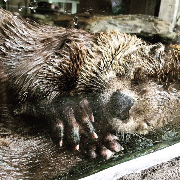 Otter Naps with His Tail in His Mouth