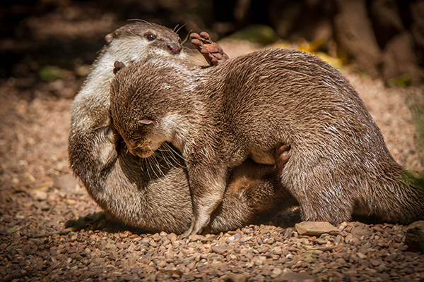 Otter Pups Wrestle