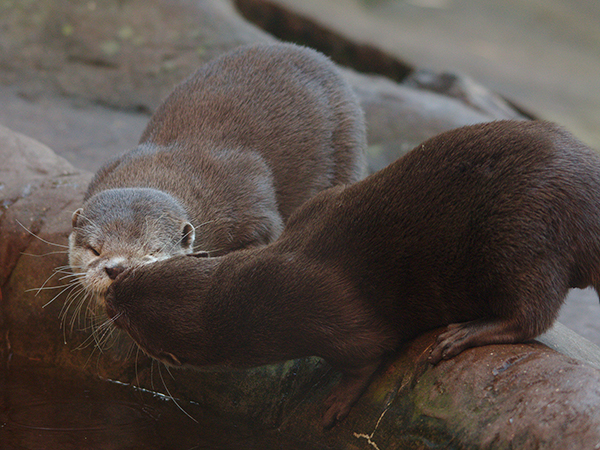 Otters Share a Kiss at the Watering Hole