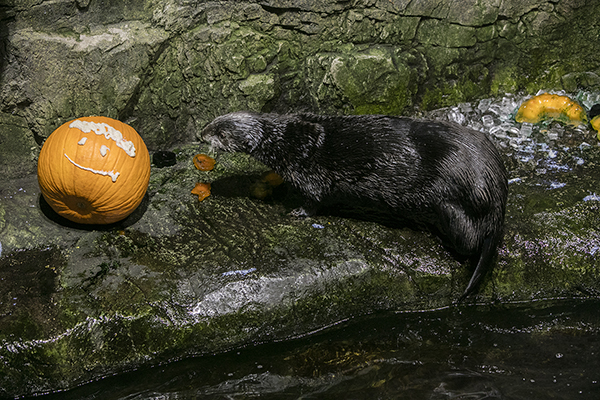 Sea Otter Checks Out the Halloween Treats at Shedd Aquarium 2