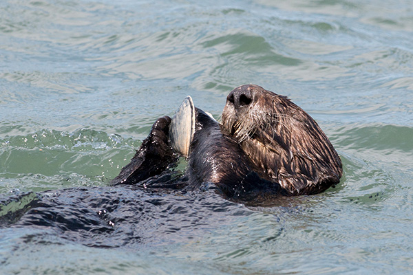 Sea Otter Gobbles Up a Tasty Clam