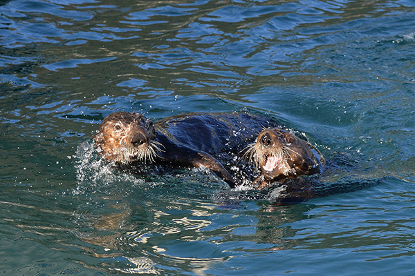 Sea Otters Play Never Minding Their Audience 1