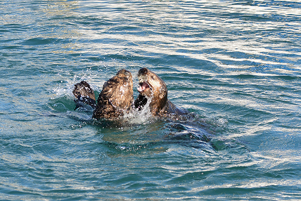 Sea Otters Play Never Minding Their Audience 2