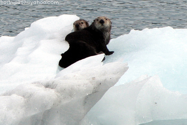 Sea Otters Sit on an Iceberg