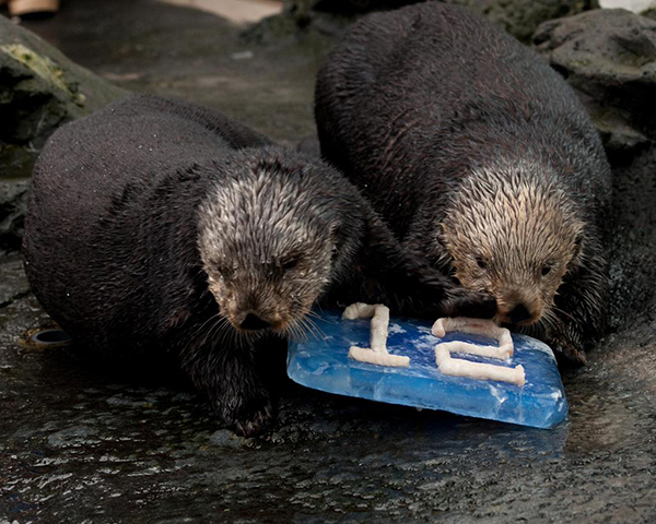 Sea Otters Support Their Local Football Team