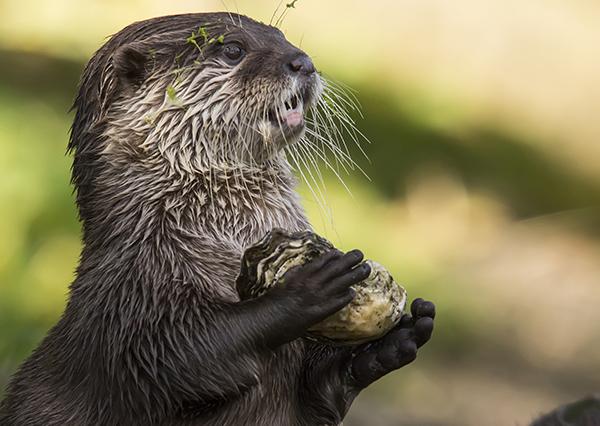 Slightly Dazed Otter Carries a Shell
