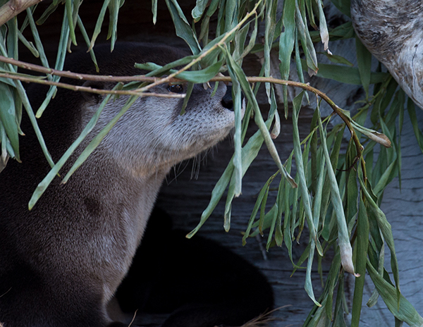 Otter Holds a Stake Out Under Cover of Branches
