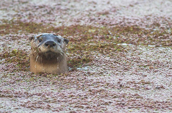 Otter Pokes His Head Out of the Water for a Quick Photo