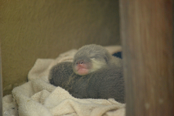Otter Pups Snuggle Up for a Snooze