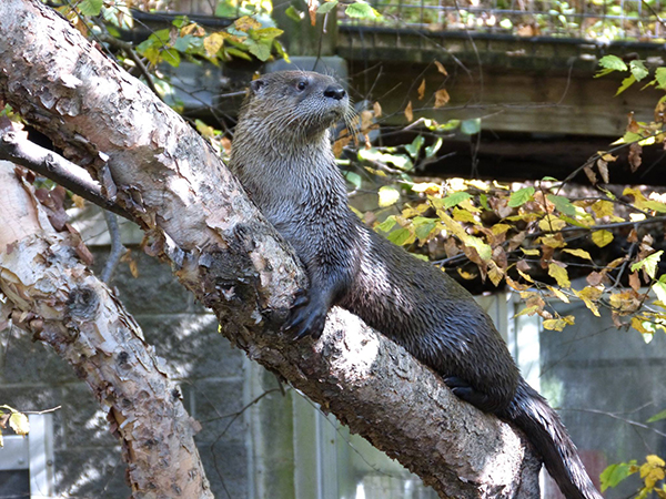 Otter Takes a Break from Climbing a Tree to Check Out the View 1