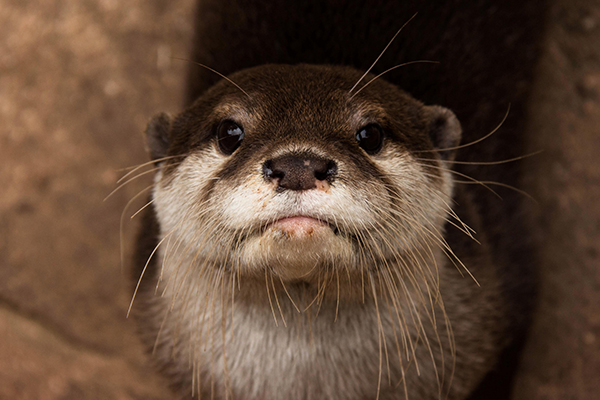 Otter Will Look You Right in the Eye