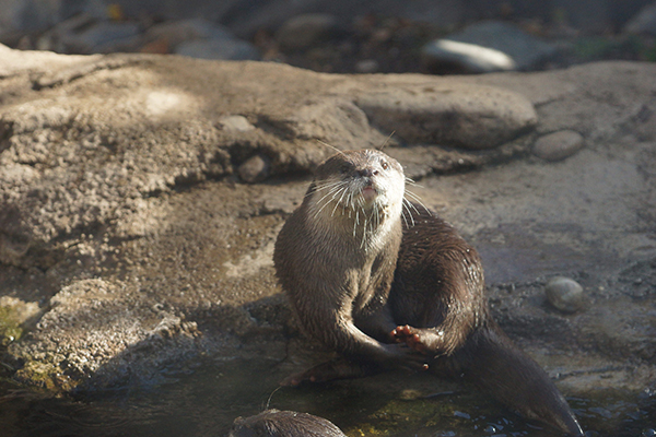 Otter Works on Her Pedicure
