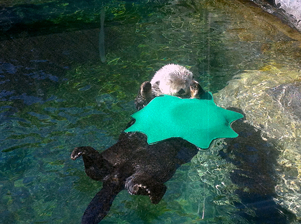 Sea Otter Has a Cozy Floating Blanket