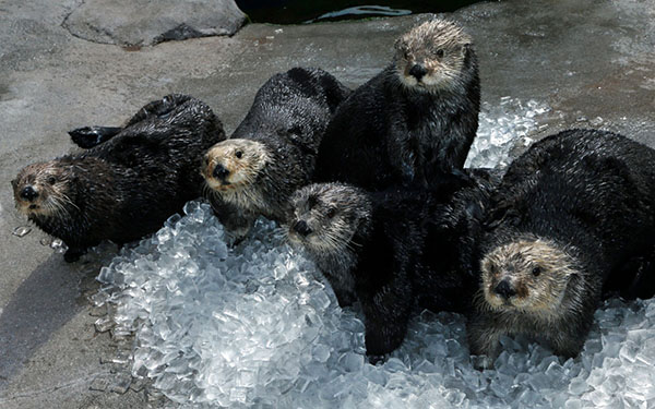 Sea Otters Lounge in an Ice Pile