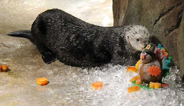 Sea Otters at Georgia Aquarium Celebrated Thanksgiving with an Icy Turkey